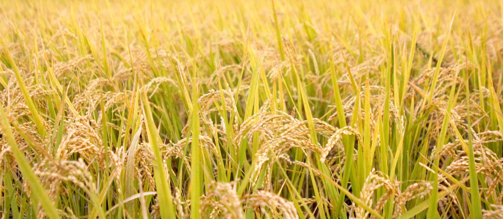熊本県玉名の米所|八十八夜